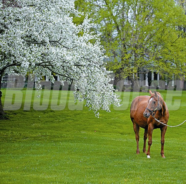 Caption:  Lisa Danielle, dam of 2012 Horse of the Year Wise Dan, was named Broodmare of the Year by the KTA (Kentucky Thoroughbred Association) and lives on Mr. and Mrs. Warren Rosenthal's Patchen Wilkes Farm in Lexington, Ky. Lisa Danielle is in foal to More Than Ready. LisaDanielle Origs 1 image Photo by Anne M. Eberhardt