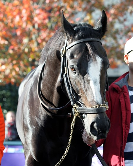 Honor Code (Breeders' Cup Classic) schooling in the paddock at Keeneland on October 29, 2015. Photo By: Chad B. Harmon