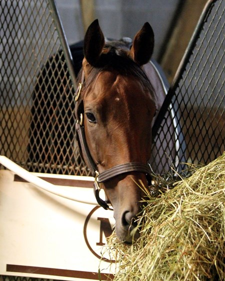 Beholder (Breeders' Cup Classic) having a morning snack at Keeneland on October 28, 2015. Photo By: Chad B. Harmon