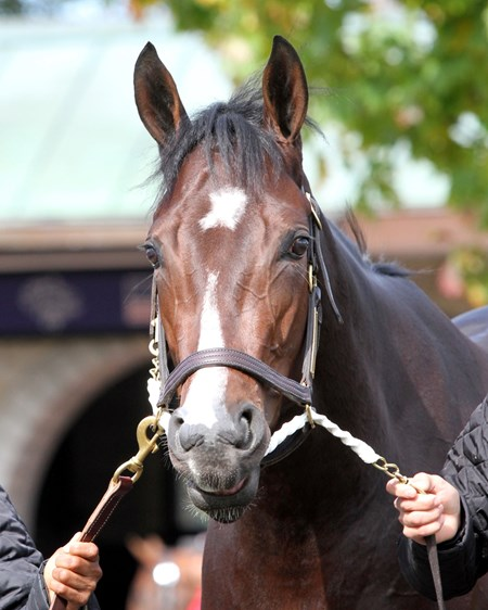 Songbird (Breeders' Cup Juvenile Fillies) schooling in the paddock at Keeneland on October 29, 2015. Photo By: Chad B. Harmon