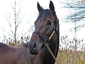 Uncle Mo at Ashford Stud.