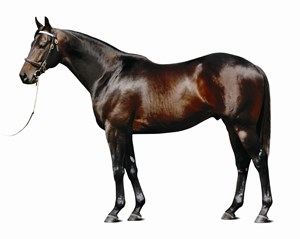 Bernardini stands at Darley near Lexington, where his 2016 fee is $100,000, the 13 year old horse has been represented by 43 stakes winners, including 31 graded winners, and progeny that have earned in excess of $50 million from six crops aged 3 year olds and up.