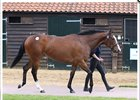 Lot 144, a colt by Acclamation, sold for US$398,826 at last year's Tattersalls Guineas breeze up sale