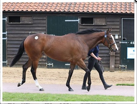 Top seller at the Tattersalls Guineas Breeze-up Sale, Lot 144 Acclamation-Malaspina colt