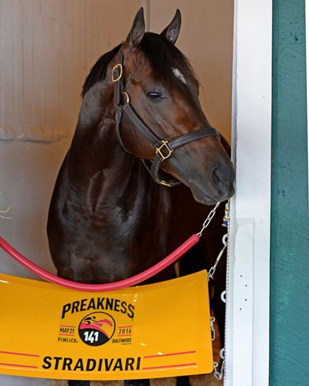 Stradivari  Preakness week at Pimlico in Baltimore, Md., on May 19, 2016.