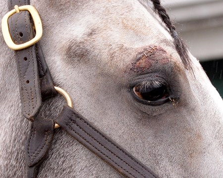 Morning after the Preakness Stakes (gr. I), Cherry Wine eye after hitting starting gate, staples on May 22, 2016.