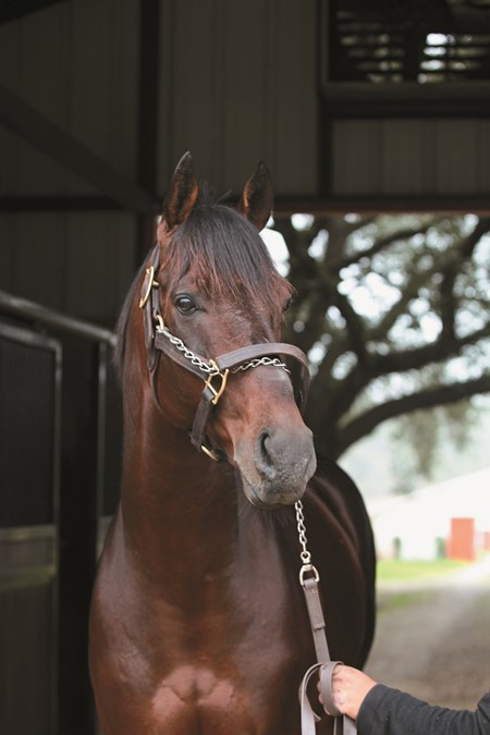 Star Guitar at one of the stallion barns at Clear Creek in Folsom, Louisiana.  Clear Creek Stud, 2015,
