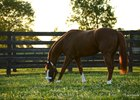 July 31, 2015  As the summer sun sets, California Chrome enjoys the Kentucky bluegrass from his private paddock in the stallion complex at Taylor Made.