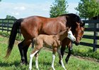 Out for Revenge with her Bodemeister colt born June 5 at Southern Equine farm in Midway, Ky.