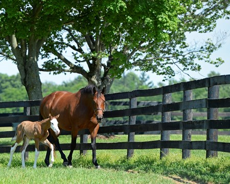 Out for Revenge with her Bodemeister colt born at 6 am, on Sunday, June 5, 2016, at Southern Equine farm in Midway, Ky.
