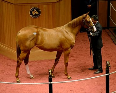 Hip 388, a colt by Curlin, sells during the Fasig-Tipton July sale as a yearling