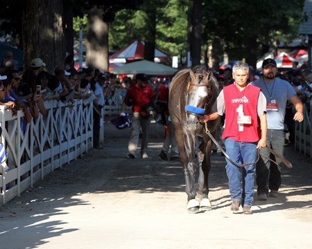 Arrogate heading to the paddock prior to winning the 147th Running of the Travers (GI) at Saratoga on August 27, 2016.