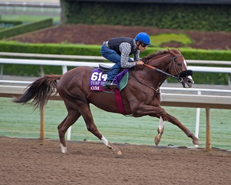 Om Works at Santa Anita in preparation for 2016 Breeders' Cup on Oct. 31, 2016, in Arcadia, CA.