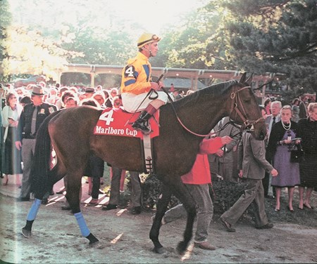 The Marlboro Turkoman. Turkoman parades in the paddock prior to the 1986 Marlboro Cup at Belmont Park