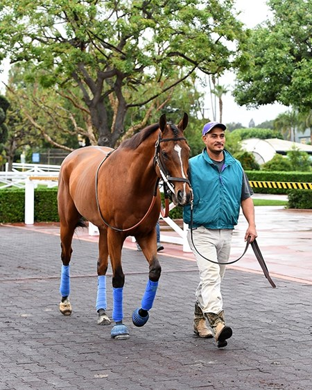 Masochistic Schooling at Santa Anita. Works at Santa Anita in preparation for 2016 Breeders' Cup on Oct. 30, 2016, in Arcadia, CA.