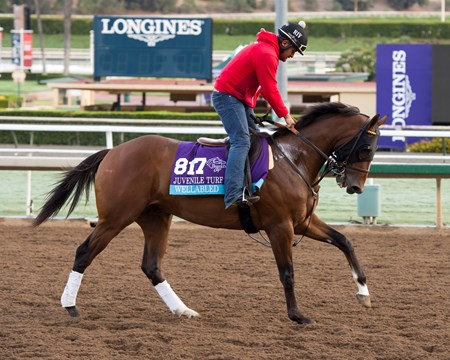 Wellabled, Juvenile Turf