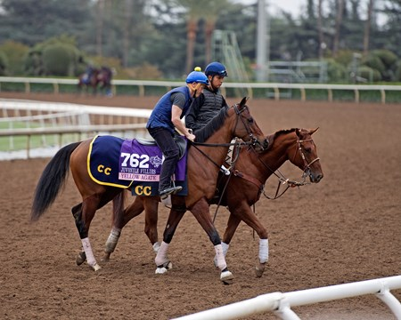 Yellow Agate Works at Santa Anita in preparation for 2016 Breeders' Cup on Oct. 31, 2016, in Arcadia, CA.