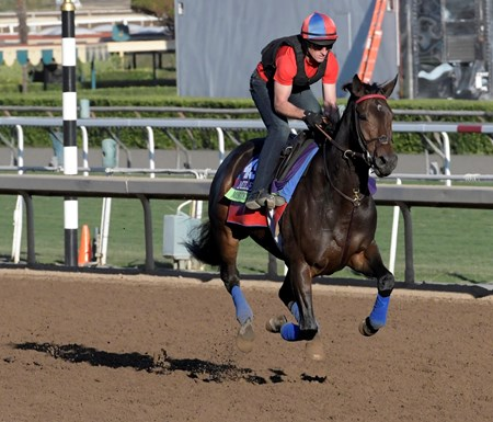 Miss Temple City out for a gallop at Santa Anita Nov. 3, 2016 in preparation for her appearance in the Breeders' Cup in Arcadia, California.