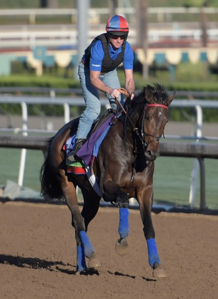 Miss Temple City gallops at Santa Anita Nov. 2, 2016 in preparation for her appearance in the Breeders' Cup in Arcadia, California.
