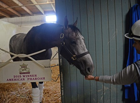 Arrogate gets carrots from Dana Barnes Morning after the Breeders' Cup Classic 2016 Breeders' Cup on Nov. 6, 2016, in Arcadia, CA.
