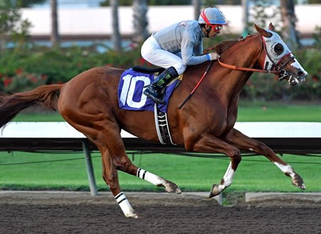 California Chrome wins the 2016 Winter Challenge