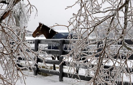 Thoroughbred stands in paddock surrounded by aftermath of ice storm including branches weighted by ice. Ice storm and snow images, part of a cold winter weather system, in Central Kentucky.