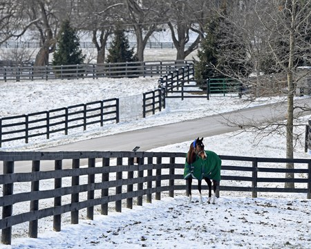 Songbird at WinStar Farm near Versailles, Ky.,  on Jan. 7, 2017.