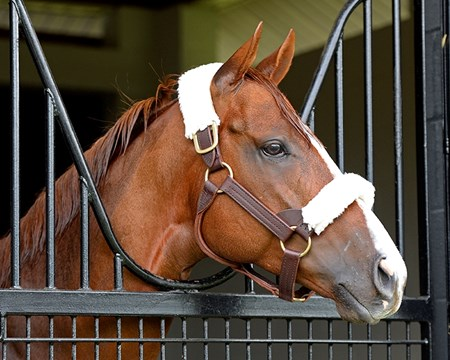 California Chrome in his stall at Taylor Made Farm on April 22, 2016, in Nicholasville, Ky.