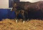 American Pharoah's colt at Brookdale Farm with dam Kakadu