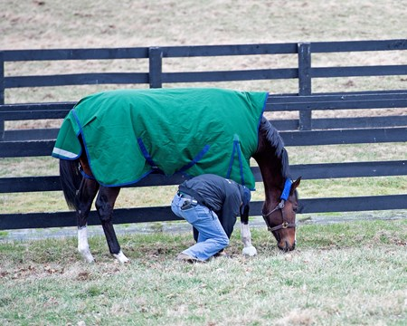 Stongbird in paddock with foreman Salbador Ceballos who unflips her bell boot, Songbird at WinStar Farm near Versailles, Ky.,  on Jan. 10, 2017.