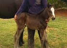 Karakontie's first foal is out of Royal Parade by Saint Ballado