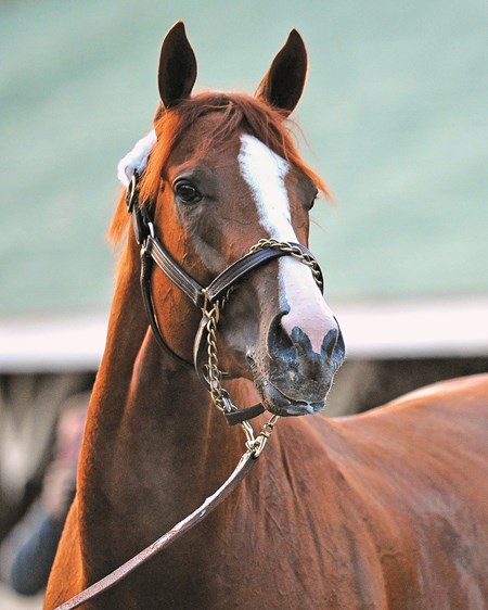 (April 30, 2014) California Chrome... © 2014 Rick Samuels/The Blood-Horse