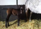 First Foal for Silver Max a Filly