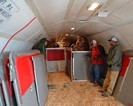 Air Transport: stalls being built around horses as they are loaded on to plane. Fillies in back and colts in front, air circulation, for flight to California on Jan. 23, 2017