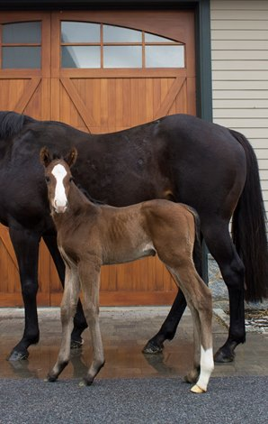 First Foal By Fast Anna Born In New York Bloodhorse