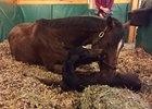 La Verdad delivered her first foal, a dark bay filly by Medaglia d'Oro