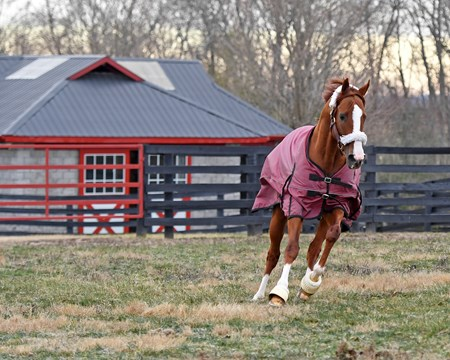 California Chrome in his paddock at Taylor Made Stallions in Nicholasville, Ky., on Feb. 10, 2017.