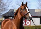 California Chrome at Taylor Made Stallions in February