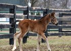 First Northern Hemisphere foal, 2017 filly by Hampton Court out of Dating Lady Luck at Spendthrift