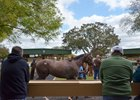 Juveniles get ready to head into the auction ring during the OBS spring sale