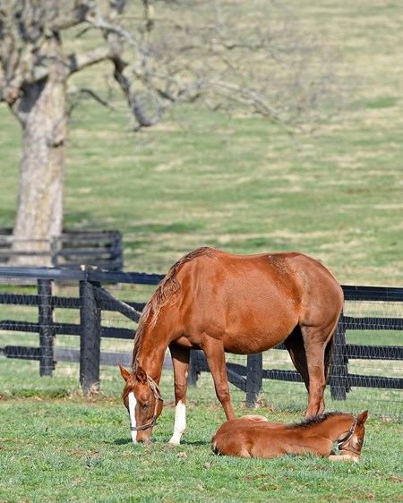 Hessonite with her 2017 American Pharoah colt born 2/21/17. Mare and foal scenes at Denali Stud near Paris, Ky., on March 4, 2017.