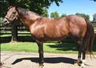 Animo de Valeroso to Stand at Duncan Farms