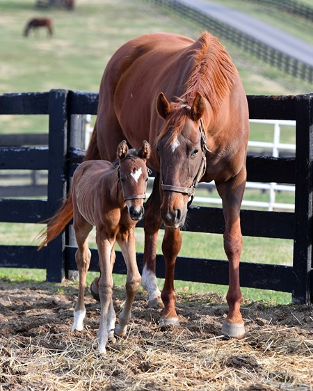 Emotional Kitten with 2017 filly by Bernardini born on March 1. Mare and foal scenes at Denali Stud near Paris, Ky., on March 4, 2017.