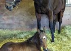 Conquest Curlinate Gets First Foal
