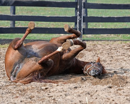 Emotional Kitten takes a roll in the sandy round pen. Mare and foal scenes at Denali Stud near Paris, Ky., on March 4, 2017.
