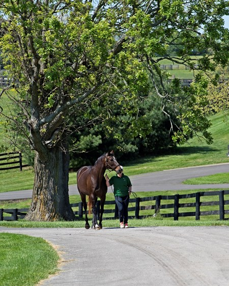 Erin McCarthy leads Above Perfection, dam of Always Dreaming, to her photo shoot at Dromoland Farm near Lexington.  May 8, 2017 Dromoland in Lexington, Ky.