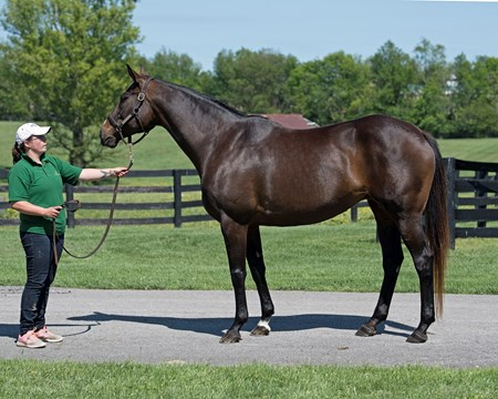 Above Perfection, dam of Always Dreaming, with Erin McCarthy at Dromoland Farm near Lexington.  May 8, 2017 Dromoland in Lexington, Ky.