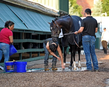 bath time for Always Dreaming Preakness contenders at Pimlico.  May 18, 2017 Baltimore in Pimlico, Maryland.