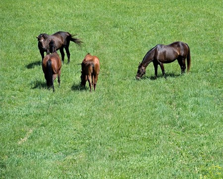 Caption: Above Perfection (right) in field with her buddies,( l-r) Inny River (facing camera), Take It Easy Please, and Sweet Profit (chestnut). Above Perfection, dam of Always Dreaming, and breeders Mike Ryan and Gerry Dilger (Santa Rosa) at Dromoland Farm near Lexington.  May 8, 2017 Dromoland in Lexington, Ky.