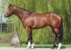 Havana Gold stands at Tweenhills Farm & Stud in England